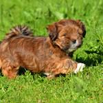 Yarmilan Ringmaster Lhasa Apso puppy